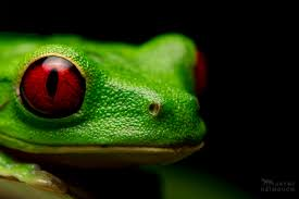 this is why red eyed tree frogs have red eyes mnn mother
