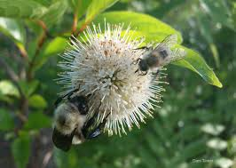 native plants of pa for wild bees these native plants are superstars the national