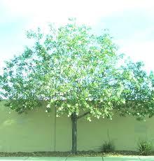 100 backyard shade trees shade and street tree care uga