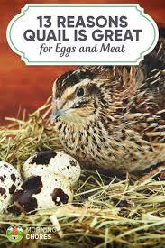 13 legitimate reasons to start raising quail in your urban