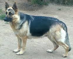 south australian german shepherd breeders german shepherd dog breeders and german shepherd dogs for sale