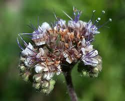 native new mexico plants vascular plants of the gila wilderness phacelia neomexicana