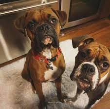 boxer dog funny 2200 best boxer dog images on pinterest boxer love animals and