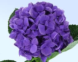 purple hydrangea associated cut flower co inc floral product gallery hydrangeas