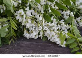 black locust tree stock images royalty free images vectors