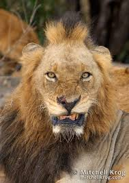the infamous mr t of the mapogo lions pride sabi sands