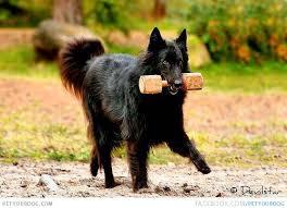 belgian sheepdog groenendael know about belgian shepherd dog groenendael know about dog