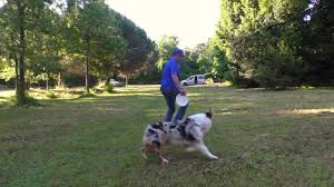 australian shepherd p disc dog australian shepherd puppy 7 mesi youtube