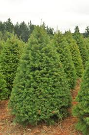 douglas fir tree douglas fir trees information and characteristics about them