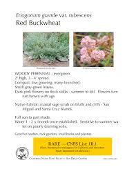 california native plant list plant of the month red buckwheat eriogonum grande var rubescens