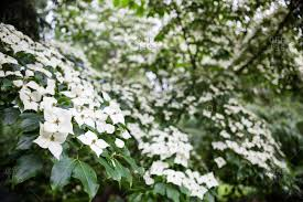 Trees With White Flowers Dogwood Trees Stock Photos Offset