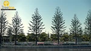 araucaria heteorophylla norfolk island pine gallery exlevel