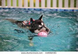 siberian husky dog wear life jacket stock photo 452208334