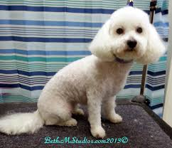 poodle vs bichon frise bichon lamb cut after with breed style haircuts for molly
