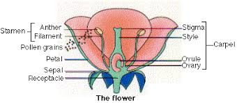 Part Of Flowers - sexual reproduction in angiosperms