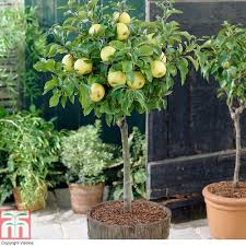 Patio Fruit Trees Uk by Apple U0026 Pear Trees Thompson U0026 Morgan
