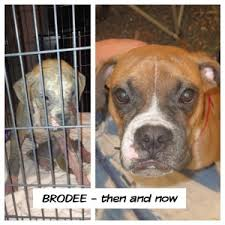 boxer dog rescue alamo boxer rescue austin boxer rescue
