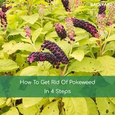 how to get rid of pokeweed in 4 steps nov 2017