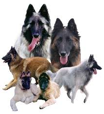 belgian sheepdog australia belgian shepherd dogs and puppies at graebelge tervueren and