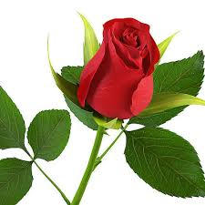 Rose Flower Images Lily Flower Aishu Exporter Exporter In Sathyamangalam