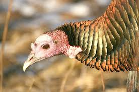 thanksgiving is near and it s all about the turkeys by chris