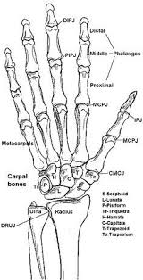 Anatomy Of The Human Body Bones Best 25 Skeleton Bones Ideas On Pinterest Human Skeleton Bones