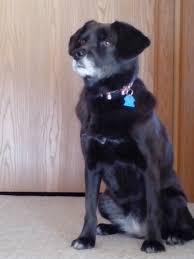affenpinscher illinois schaumburg il shiba inu meet bella 3 adoption pending a dog