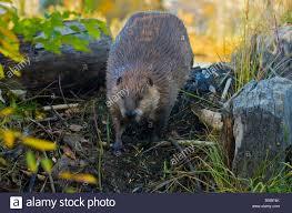 beaver home stock photos u0026 beaver home stock images alamy
