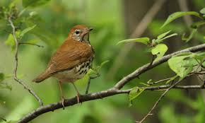 Canopy Birds by Wood Thrush Birds Of North America Online