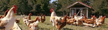 Chickens For Backyard Resources For Backyard Chickens Uf Ifas Extension Pinellas County