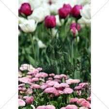 daisy flower garden spring season gl stock images