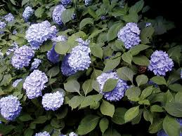 Flowering Privacy Shrubs - sunless success 15 great easy to grow shrubs for shade state