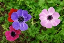 anemones flowers anemone flowers