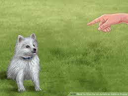 american eskimo dog what do they eat 4 ways to care for an american eskimo puppy wikihow