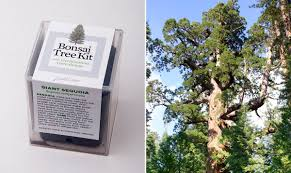 sequoia bonsai tree kit cool