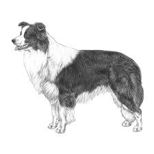 australian shepherd outline articles dogwellnet com