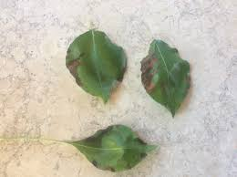 quince leaf blight on ornamental pear yates