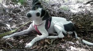 bluetick coonhound lab mix puppies for sale rat terrier mix with bluetick coonhound allmutt com