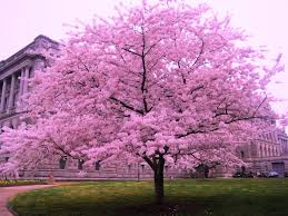 cherry blossom trees dreams meaning interpretation and meaning