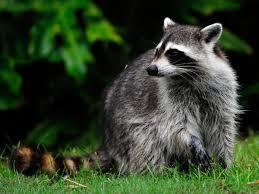 woman fights off rabid raccoon nbc connecticut