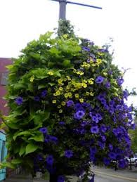 shade containers so easy to do goldilocks for the vine begonia