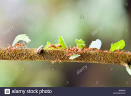 leaf cutter ants carrying pieces of leaves along a thin tree