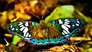 how did the butterfly get its name and what does it in