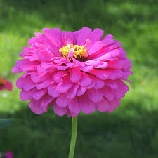 zinnia flower zinnia flower pictures images of zinnias by the gardener s network
