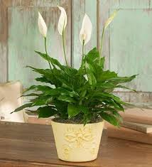 peace lilly you can reduce mold with a peace lily studies have