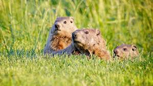what is the difference between a groundhog a gopher and a