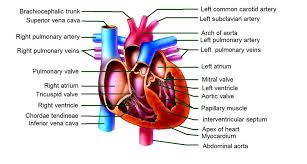 Heart Anatomy Arteries Cardiac Mri Protocols Planning And Techniques Positioning For