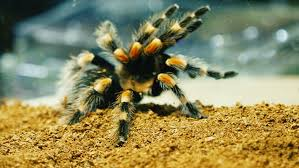 close up of a tarantula spider dangerous insect in a special