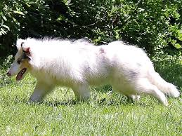 american eskimo dog gestation period double merle breeders don u0027t want you to see this