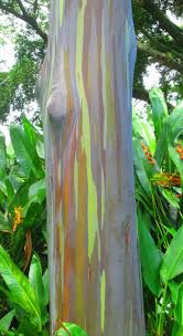 16 best rainbow trees images on pinterest rainbow eucalyptus